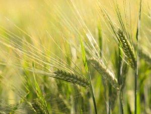 spike-wheat 470 x 355