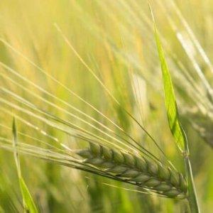 spike-wheat-430x430